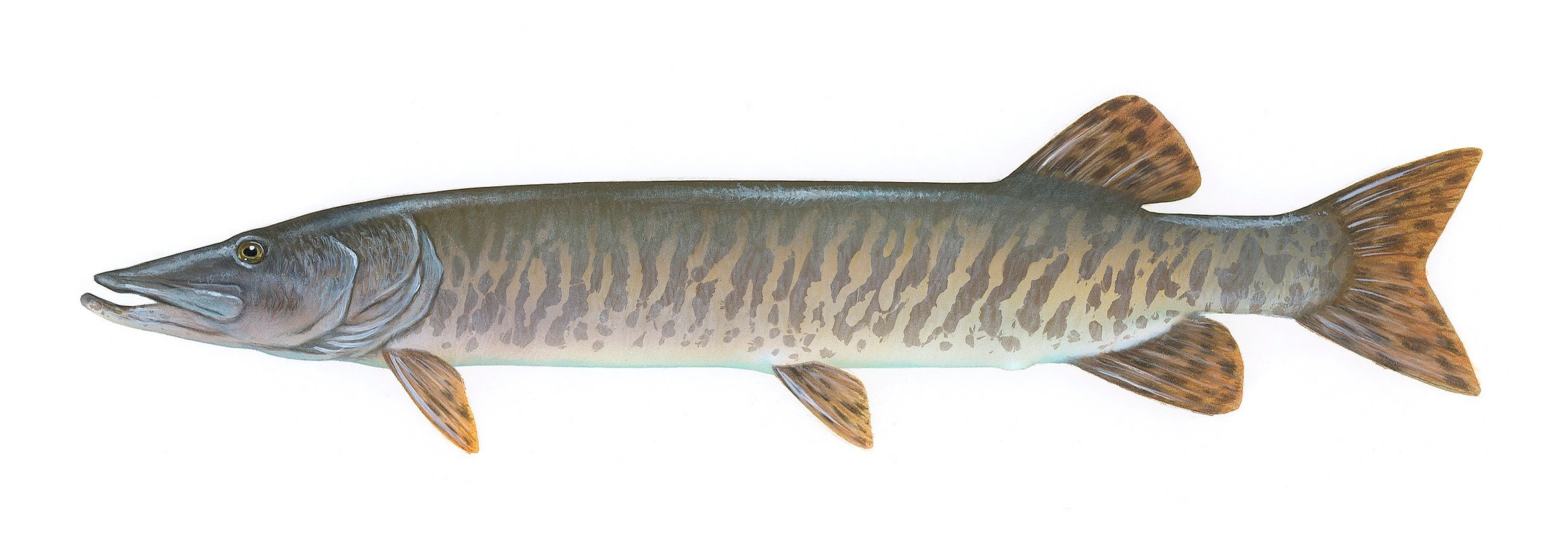Muskellunge muskie musky open for business for Tiger muskie fishing